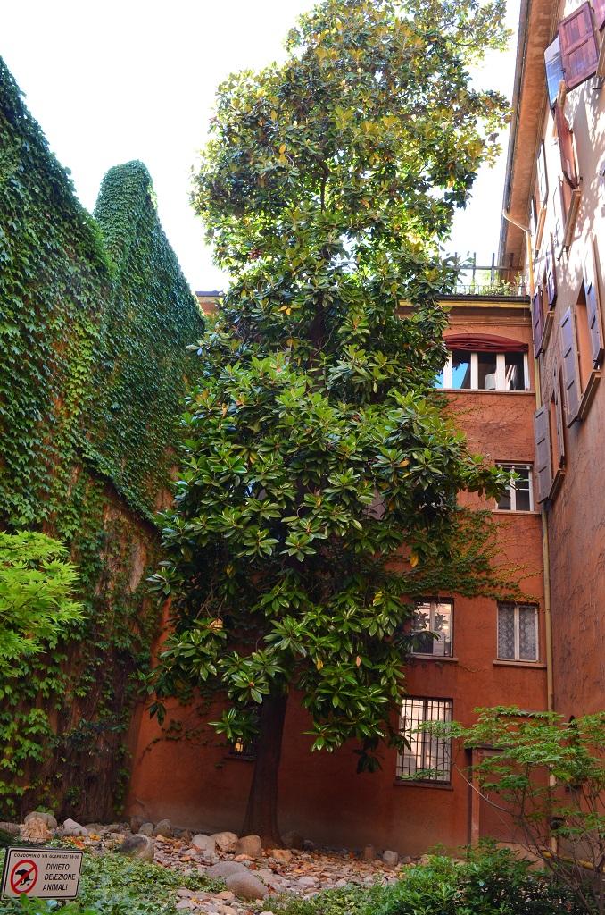 Magnolia giardino Via Guerrazzi