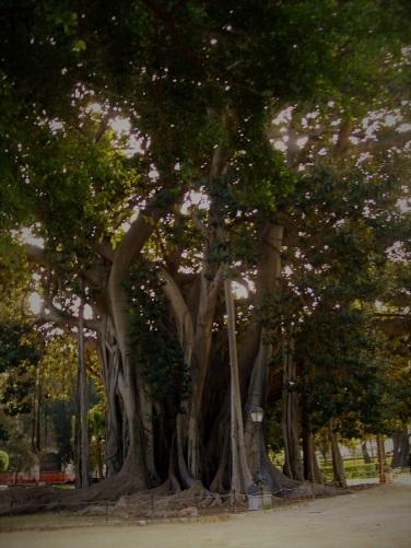 Ficus macrophylla del giardino Garibaldi Palermo