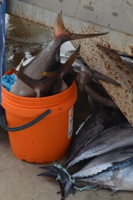 pesci a Palmeira Isola di Sal Capo Verde