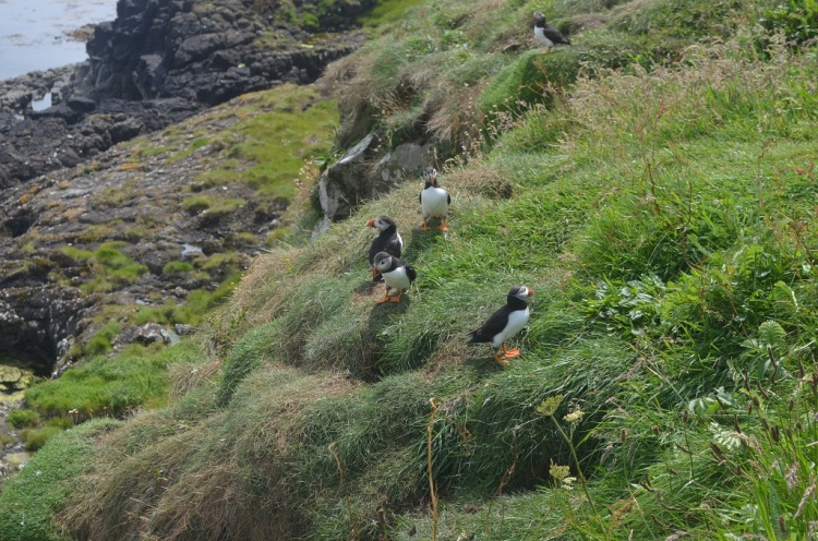 Puffins  Isle of Staffa