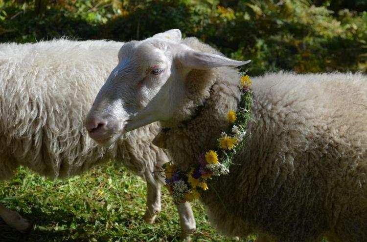 pronti per la Desmontegada delle pecore