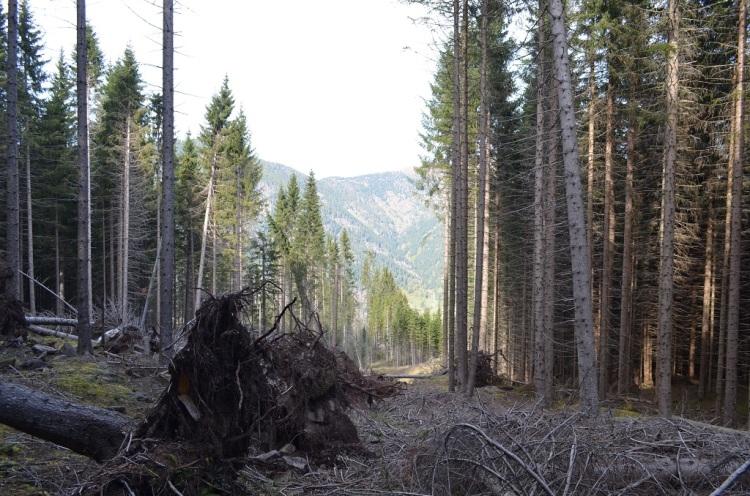 Alberi sradicati in Val di Fiemme